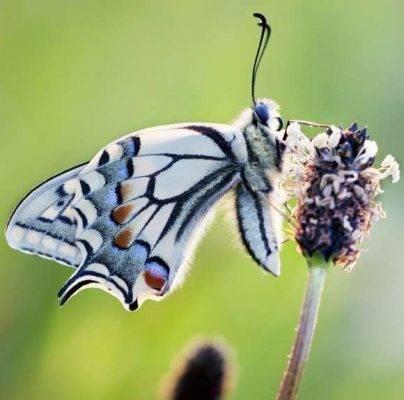 تحديد نوع الفراشات