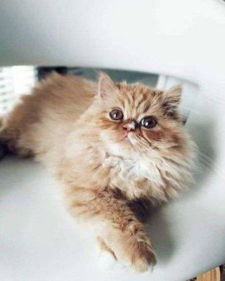القطط الشيرازية