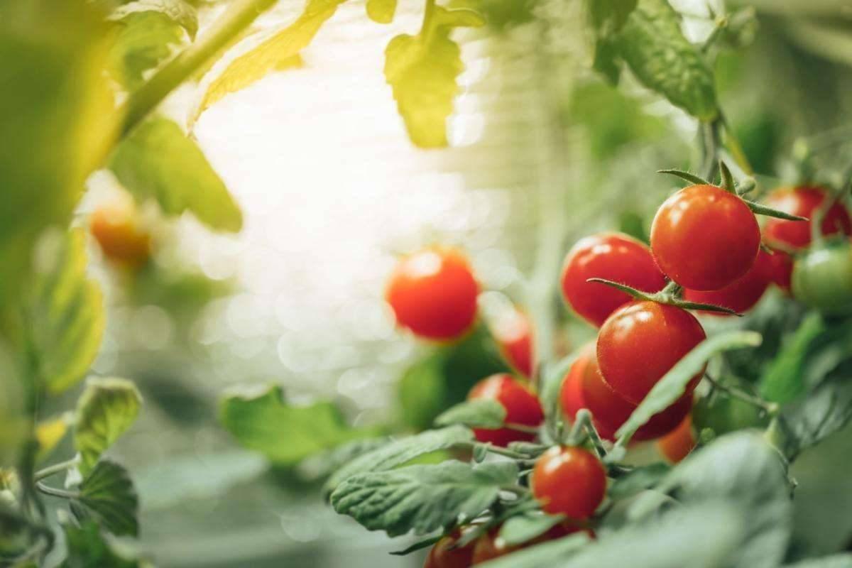 زراعة الطماطم في الشتاء