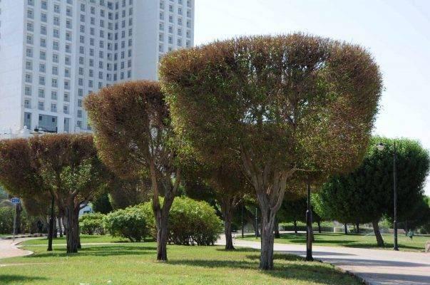 معلومات عن شجرة الكاربس وأهميتها وأماكن زراعتها 5c4c037d-3e40-4e95-8afd-ca3b7e83f45c-603x400