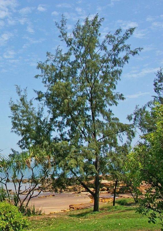 معلومات عن شجرة اليوكالبتوس Casuarina_equisetifolia_-_Darwin_NT-565x800