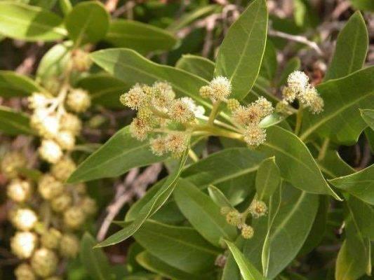 معلومات عن شجرة الكاربس وأهميتها وأماكن زراعتها CrOko8yW8AAzigh-533x400