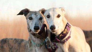 Photo of طريقة تربية الكلاب الجريفون…. ست نصائح لتربية الكلاب السّلوقيّة