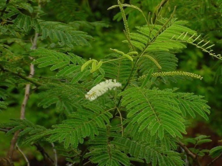 معلومات عن شجرة اليوكالبتوس KHADIRA-1-1
