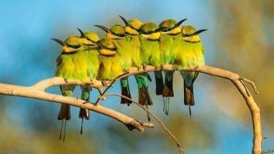 Photo of طريقة تربية العصافير الاسترالي… أشهر خمسة أنواع للعصافير الاسترالي
