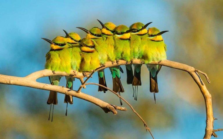 طريقة تربية العصافير الاسترالية