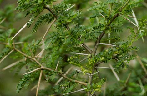 معلومات عن شجرة اليوكالبتوس Acacia-1
