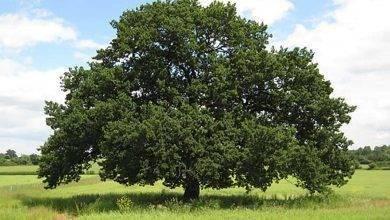 Photo of معلومات عن شجرة البلوط .. حقائق ومعلومات هامة عن شجرة البلوط