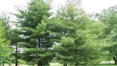 Photo of معلومات عن شجرة الصنوبر