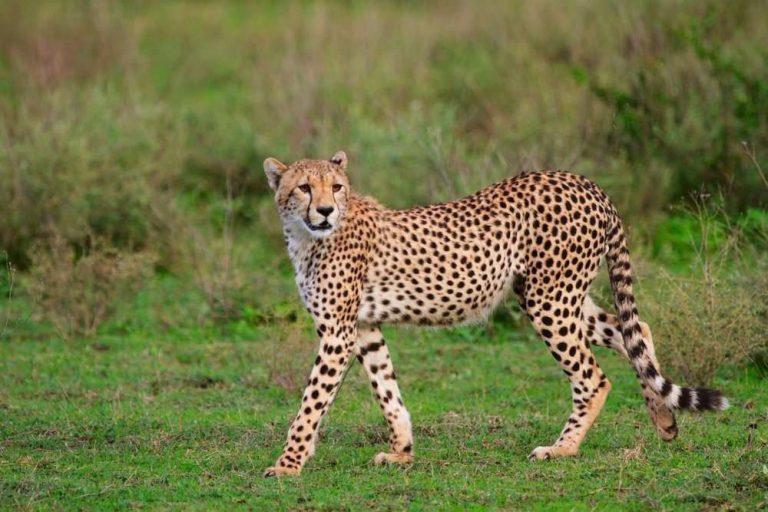 معلومات للاطفال عن الفهد