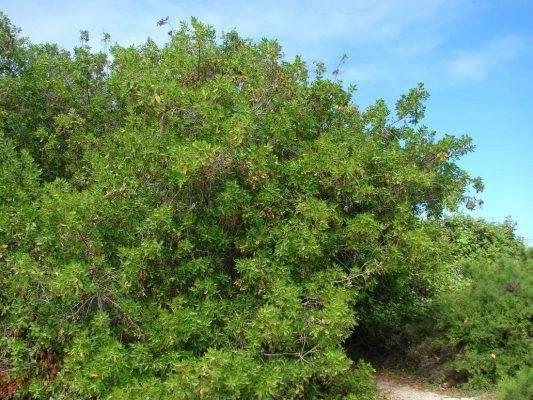 معلومات عن شجرة الكاربس وأهميتها وأماكن زراعتها Cono3-533x400