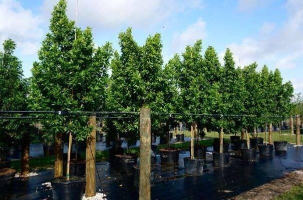 معلومات عن شجرة الكاربس وأهميتها وأماكن زراعتها Conocarpus-erectus-syn-conocarpus-erectus-var-erectus-605x400