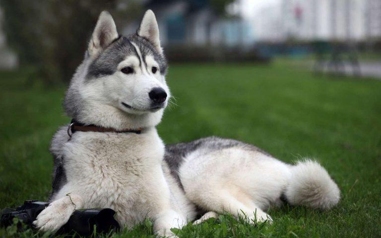 طريقة تربية الكلاب الهاسكي