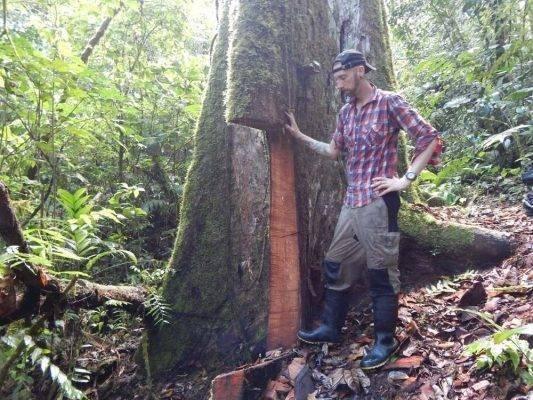 معلومات عن شجرة الماهوجني Download-20-533x400