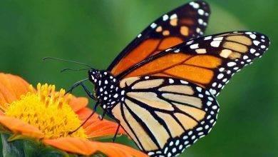 Photo of طريقة تربية الفراشات… نصائح عديدة لتعلُّم كيفيّة تربية الفراشات