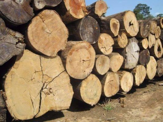معلومات عن شجرة الماهوجني Iroko-wood-ebony-mahogany-organ-wood-533x400