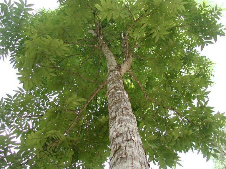 معلومات عن شجرة الماهوجني Mahoganytreepicture
