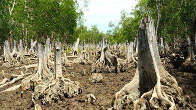 Photo of معلومات عن شجرة المانغروف