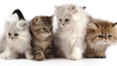 Photo of طريقة تربية القطط الشيرازية… صفات القطط الشيرازية ونصائح للاعتناء بها