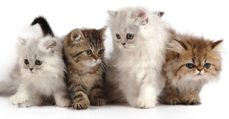 طريقة تربية القطط الشيرازية