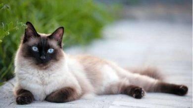 Photo of طريقة تربية القطط السيامية… معلومات عن القطط السيايمية وطريقة الاعتناء بها
