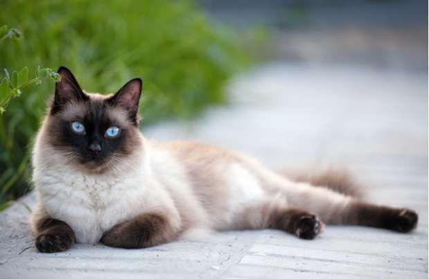 طريقة تربية القطط السيامية
