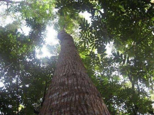 معلومات عن شجرة الماهوجني Tree-mahogany-533x400