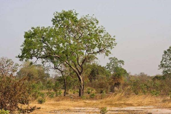 معلومات عن شجرة الماهوجني Young_mahogany-600x400