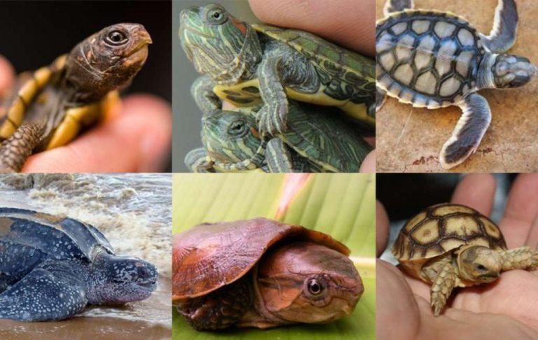 طريقة تربية السلاحف الصغيرة