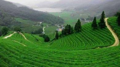 Photo of مزارع الشاي في ريزا تركيا… دليلك للتعرف على مزارع الشاي بمدينة ريزا التركية