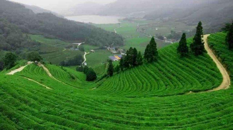 مزارع الشاي في ريزا تركيا
