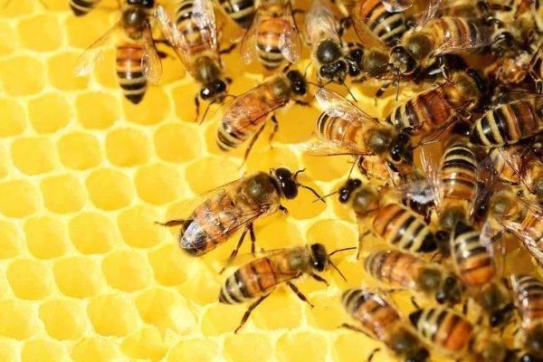هل تعلم عن كيفية إنتاج النحلة للعسل ؟