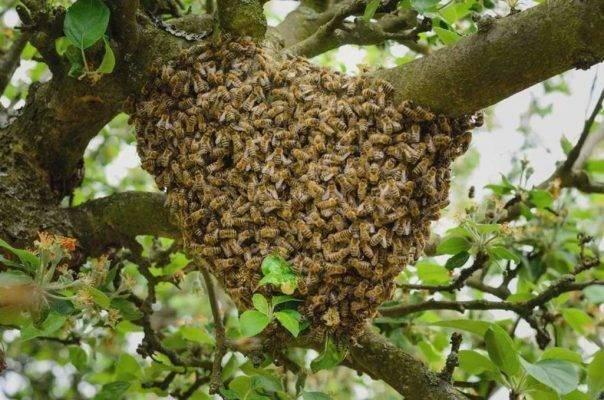هل تعلم عن نحل العسل ؟