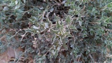 Photo of معلومات عن نبات الرغل …. تعرف على فوائد نبات الرغل واماكن استخدامه