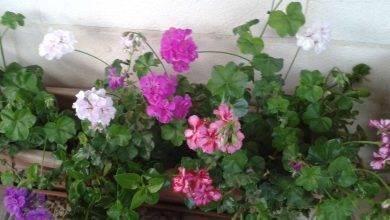Photo of معلومات عن نبتة جارونيا..تعرف على أهم معلومات عن نبتة جارونيا..