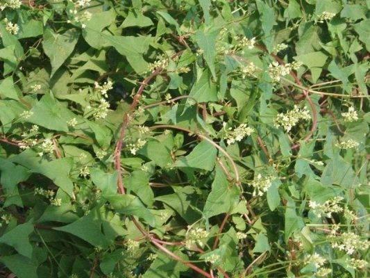 الفوائد العلاجية لنبات عصا الراعي