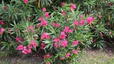 Photo of معلومات عن نبات الدفلة
