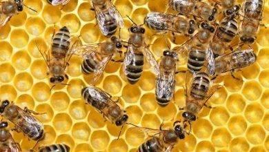 Photo of فوائد رويال جيلي … 12 فائدة صحية مدهشة لغذاء ملكات النحل