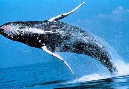 فوائد كبد الحوت