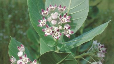 Photo of فوائد نبات العشر … تعرف على أهم فوائد إحدى النباتات التي لا يعرفها الكثيرين