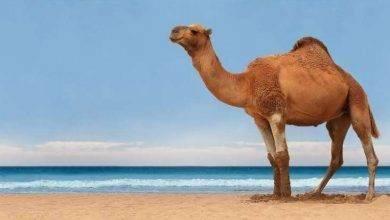 Photo of فوائد بول الأبل