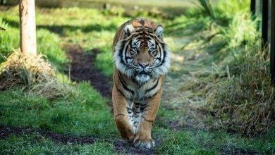 Photo of معلومات عن أنثى النمر