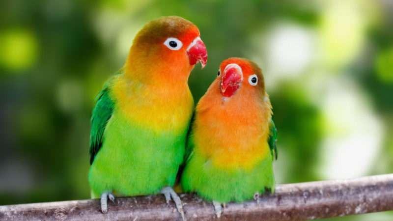 موسم تكاثر طيور الحب