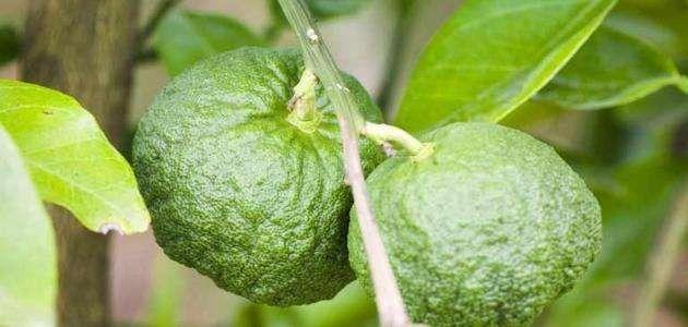 Photo of فوائد ورق الليمون ..