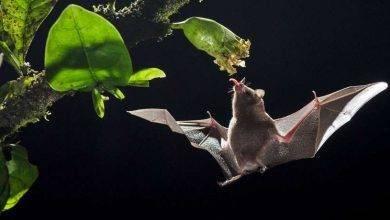 Photo of معلومات عن الخفاش… معلومات عديدة مذهلة عن طبيعة الخفافيش
