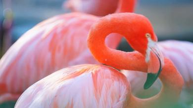 Photo of معلومات عن طائر النحام… أبرز المعلومات عن طيور الفلامينغو