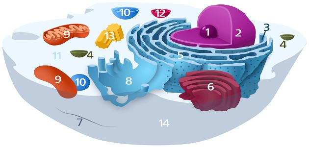 الفرق بين الخلية الحيوانية والنباتية .. تعرف عليها ..