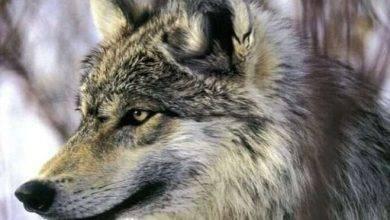 Photo of هل تعلم عن الذئب ..