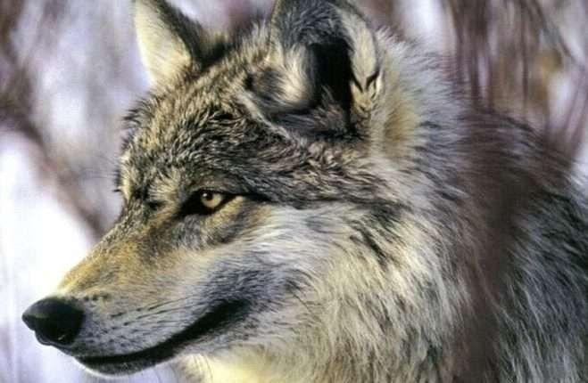 هل تعلم عن الذئب