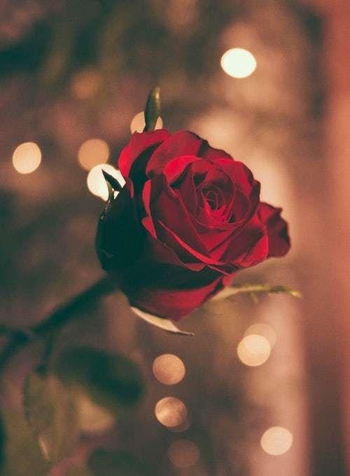 حكم بالانجليزي عن الورد تعرف على حكم عن الورد وعلاقته بالحب معلومات